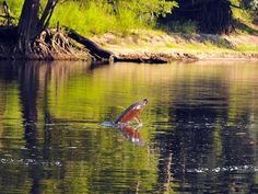 Giant jumping fish return to the Suwannee River  #FL #Florida #Nature