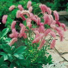 Sanguisorba obtusa,  Height 60-65cm, Flowers: June - Sept.