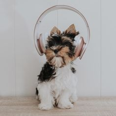 Raza biewerterrier Terrier, Lifestyle, Dogs, Pet Dogs, Doggies, Terriers