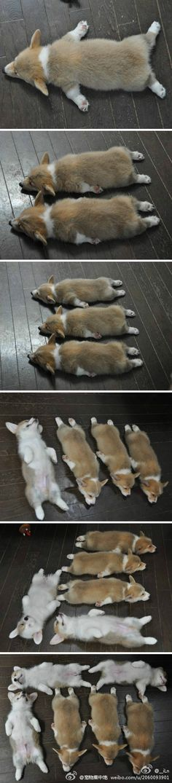 Corgi Sleeping Positions 1-6
