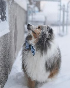 ~ SHELTIES LOVE SNOW ~
