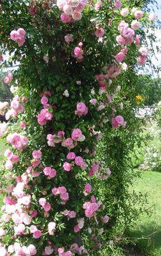 Rose Garden Design, Pink Garden, Dream Garden, Amazing Gardens, Beautiful Gardens, Climbing Rose Plants, Hardy Geranium, Rose Trellis, Garden Solutions