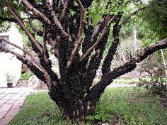 Jabuticaba ağacı. - Google'da Ara