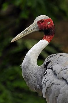 Sarus Crane (Grus antigone) are non-migratory birds found in the wetlands of the Indian Subcontinent of Southeast Asia.