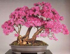 gorgeous pink flowering bonsai,   Azalea (Rododendron indicum) by Bonsai Kai found on bonsai empire on G+ www.bonsaiempire.com #Bonsai #azalea