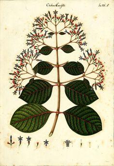 https://flic.kr/p/sbWQ9o   Cinchona lancifolia   Anónimo Cinchona lancifolia Mutis (Rubiaceae) = Cinchona officinalis L. Dibujo a la témpera sobre papel ; 540 x 380 mm Real Expedición Botánica del Nuevo Reino de Granada (1783-1816) Archivo del Real Jardín Botánico, CSIC. Div. III, 2862 Publicada en: MUTIS, J.C. Flora de la Real Expedición Botánica del Nuevo Reino de Granada (1783-1816) [...]. Madrid : Ediciones Cultura Hispánica, 1957, Tomo XLIV,27 Det.: Enrique Pérez Arbeláez / Rev.: J.L…