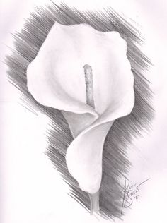 "Lily Flower Drawing | pencil botanical drawings "" Calla Lily I"", ""Lavendar Lily ..."