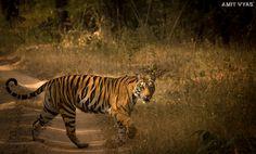 'Banbehi' The illusive queen of Caves in Bandhavgad. Dec'2015  #tiger #tigerreserve #bandhavgarh #wildlife #animal #wildanimal #bigcat #wildcat #big5 #wildlifephotography #wildlifephotography #animalpic