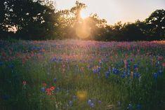 Texas Bluebonnets, Texas Print, Nature Photography, Texas Wildflowers, Texas Landscape Photo, Fine Art Photo Print Texas Photo, Sunset Print Texas Photography, Nature Photography, Indian Paintbrush, Texas Bluebonnets, Fine Art Photo, Blue Bonnets, Landscape Photos, Wildflowers, Sunset