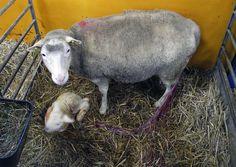 Forskare studerar fårs juverhälsa http://bit.se/qqG466