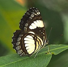 Common-barred Sailor [Neptis laeta]. The Common Sailer or Albizia Sailer is a butterfly of the Nymphalidae family. It is found in Subsaharan Africa. The habitat consists of forests and woodland.