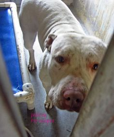 PLEASE SHARE THIS GIRL! THIS SHELTER DOES NOT KEEP PITBULLS FOR LONG! A4705991  My name is Blanca. I am an extremely sweet 2 yr old female white pit bull mix. My owner left me here on May 6. available now.  Baldwin Park shelter California, Phone 626 430 2378  https://www.facebook.com/photo.php?fbid=776875045657668&set=pb.100000055391837.-2207520000.1399846270.&type=3&theater