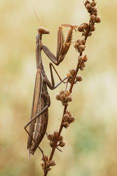Moments of the macroworld and more — Praying mantis ( female) The praying mantis...