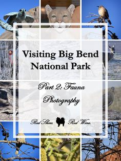 big bend national park cougars personals Hiking in the unspoiled beauty of big bend national parks before it became a national park, the big bend was home to a number of ranches and mining operations.