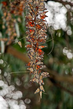 Monarch Butterflies in Santa Cruz California Butterfly Photos, Butterfly Wallpaper, Monarch Butterfly, Butterfly Wings, Newport Beach, Pismo Beach, Pacific Coast Highway, Big Sur, Santa Monica
