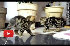 These little kitties are crab walk dancing to each other. Too cute!