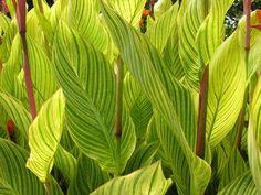 Plants - Striped Leaves