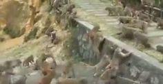 """""""O Grito do Bicho"""": Gangues de macacos rivais se enfrentam na China"""