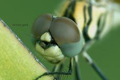 📷 Credit: Wang Teck Heng. ⠀⠀⠀⠀⠀⠀⠀⠀⠀#foto #insecto #insecte #böcek #насекомое #dragonfly #اليعسوب #libélula #トンボ #стрекоза #yusufçuk #libellula #ड्रैगनफ्लाई #wild #虫 #inseto #photo #insetto #कीट #insekt #حشرة Pets Online, Online Pet Store, Wild Animals Pictures, Animal Pictures, Animal Species, Close Up Photos, Creatures, How To Wear, Wild Animals