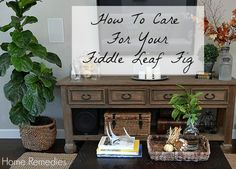 How To Care For Your Fiddle Leaf Fig | Home Remedies Rx.com