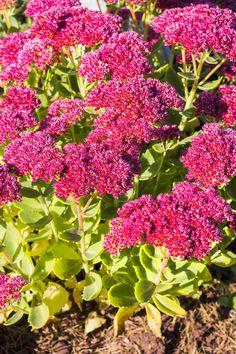 Rotes Prachtsedum Flowers, Plants, Gardening, Winter, Red Flowers, Farmhouse Garden, Shade Perennials, Nice Asses, Winter Time