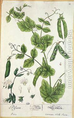 Elizabeth Blackwell:Pea, plate from Herbarium Blackwellianum by the artist, 1757