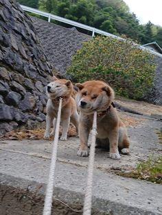 Like puppies, bunnies, babies, and so on. Cute Funny Animals, Cute Baby Animals, Funny Dogs, Animals And Pets, Cute Dogs, Shiba Inu, Japanese Dog Breeds, Japanese Dogs, Akita