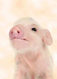 Cutest pink piglet! How can ANYBODY want to eat something with a smile that beautiful? (WhyI'mVeganReason#574897886464)