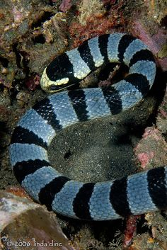 Banded Sea Snake Pretty Snakes, Cool Snakes, Beautiful Snakes, Les Reptiles, Reptiles And Amphibians, Under The Ocean, Sea And Ocean, Beautiful Creatures, Animals Beautiful