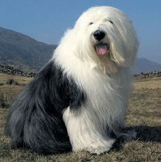 Old English Sheepdog At Risk Of Extinction | ideas4petretail