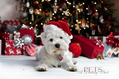 Christmas photo - pet (dog or cat) - presents beneath/underneath the Christmas tree