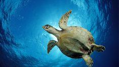 Muerte de tortugas en El Salvador fue por ingesta de biotoxinas