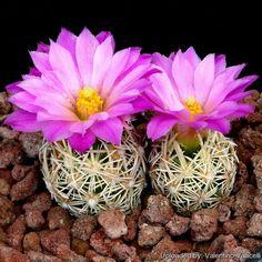 25 Samen Seeds Escobaria hesteri