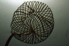 Microscopic view shows  a Dictydium sporangium dispersing it's spores.