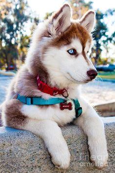 Cute Husky Puppies, Super Cute Puppies, Baby Animals Super Cute, Cute Baby Dogs, Cute Little Puppies, Cute Little Animals, Huskies Puppies, Baby Huskies, Husky Puppy
