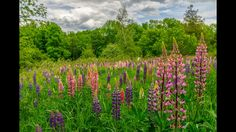 Lupine field in Western Maine.