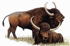 Steppe Bison | Illustration from University of Maryland, Prehistoric steppe bison. | Became extinct in the Late Pleistocene; I often depicted in Cave Art, such as at the Cave of Altamira in Spain