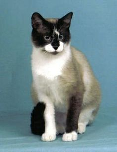Snowshoe Cat.  Had one of these.  Beautiful cat, but unfortunately easily spooked.  Might have had poor vision.