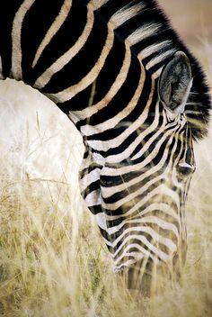 worldlyanimals:    Zebra in South Africa (Zeepster)