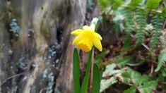 Frühling im Februar, ich glaub es geht los - Es bleibt warm im Februar, so warm, dass sich einige Pflanzen entschließen, ihre Knospen und teils Blüten auszustrecken. Das weckt Freude und auch Ungeduld, dass der Frühling sich durchsetzt. Es wird aber noch dauern. Aber ein wenig Frühling statt Winter tut gut und hebt das Gemüt. Plants, Overwintering, Apple Tree, Potted Plants, February, Glee, Plant, Planets