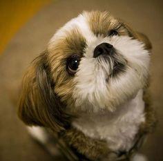 Bow Wow Wow   I Love My Shih Tzu - Cute Shih Tzu Pictures