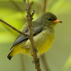 Orange-bellied Flowerpecker (juvenile) - Dicaeum trigonostigma | by Michael Gillam