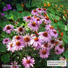 Pink and Purple Echinacea purpurea Magnus (Magnus Purple Coneflower) is part of the August Afternoons Pre-Planned Garden.