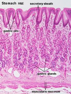 Blue Histology - Gastrointestinal Tract