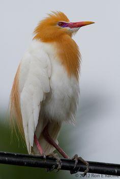 A Cattle Egret (Bubulcus ibis, subspecies B. i. coromandus) in the Village of Petulu, Bali, Indonesia.