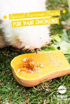 This fluffy Silkie chook is gobbling up some tasty Butternut Squash. Check out our article for some more great summer treats here, http://www.backyardchickencoops.com.au/special-summer-treats-for-your-chickens#loveyourchickens #summertreats #chickentreats