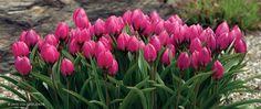 Pink Tulip Humilis Violacea