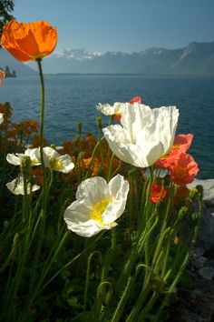"""tulipnight: """"Montreux poppies by Michael Andrassi """""""