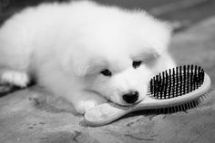 Baby Samoyed... I had this kind of dog growing up..I will always love them<3