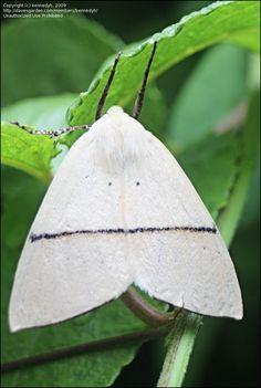 Fallen bark looper ♂ (Gastrophora henricaria) Australia